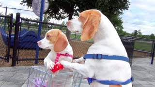 Download Dog Takes Puppy on Journey in Shopping Cart: Cute Dog Maymo and Puppy Penny Video