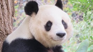 Download 季節が変わって秋もかわいいタンタン♪ 歩いてタンタンに会いに行く♪ 2018年10月23日 ジャイアントパンダ 王子動物園 Video