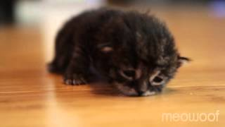 Download Tiny kitten's first crawl Video
