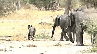 Download Naughty Baby Elephant is Disciplined by Entire Herd! Video