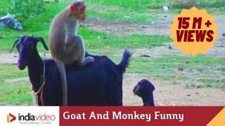Download Goat And Monkey Funny Video | India Video Video