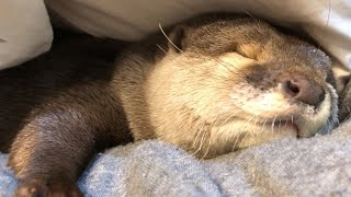 Download カワウソさくら 布団に潜って寝る直前! Otters just before going to bed Video