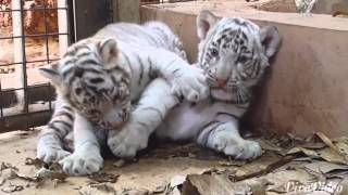 Download CUB CAM: 42 day old tiger cubs at play at Zoo! Video