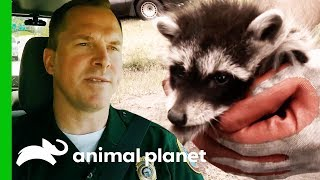 Download Carefully Releasing A Raccoon Back Into The Wild | North Woods Law Video