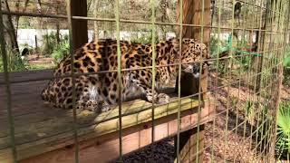 Download Natalia Amur Leopard Snacks Ops Mgr 2018 02 19 Video