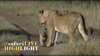 Download Three tiny little lion cubs go out on a morning stroll with mom! Video