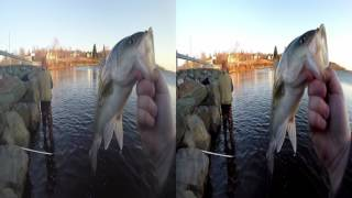 Download VR Striped Bass Fishing on the Miramichi Video