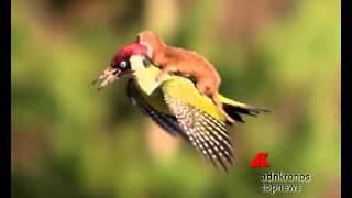 Download La donnola vola sulle ali del picchio. Amicizia? No, lotta per la vita... Video