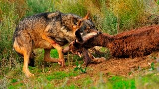 Download Documental Rusia Tierra de animales salvajes Documentales National Geographic Video