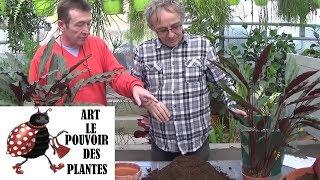 Download Conseils jardinage: calathea lancifolia: Comment faire la Culture et division: Plante verte Video
