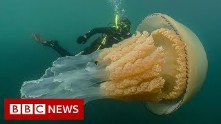 Download Giant jellyfish spotted by divers - BBC News Video