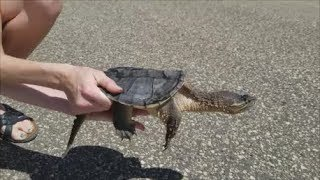 Download How to Help Turtles Cross the Road Video