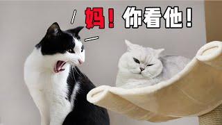 Download 【花花与三猫】抢不赢地盘,猫咪在菜板上尿尿报复,主人不生气还给奖励! Video