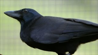 Download Are Crows the Ultimate Problem Solvers? | Inside the Animal Mind | BBC Earth Video