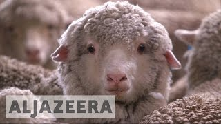 Download Sheep farming making a comeback in Australia Video