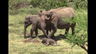 Download Injured Baby elephant ! Video