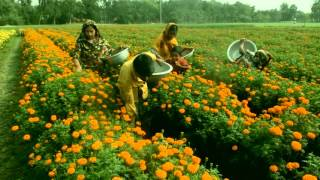 Download Marigold flower garden in bangladesh | How to Plant, Grow, and Care Video