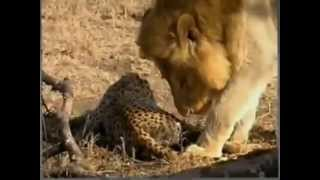 Download Lion Vs Cheetah Male lion kills 2 cheetahs Video