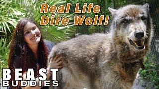 Download Yuki The Giant Wolf Dog | BEAST BUDDIES Video