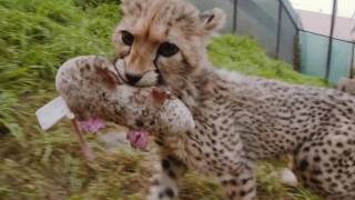 Download Cheetah Sisters Spotted at the Zoo Video