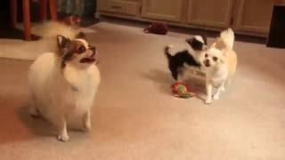 Download Long Haired Chihuahua Puppies For Sale Video