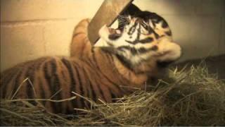 Download Sumatran Tiger Cubs Joanne & Majel Video