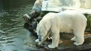Download ZOObacz co w Warszawskim ZOO - odc. 6 - Niedźwiedzie polarne Video