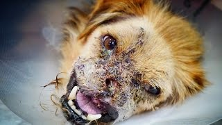 Download AMAZING TRANSFORMATION OF DOG THAT LOST HALF A FACE! LOOK AT HIM NOW! Video