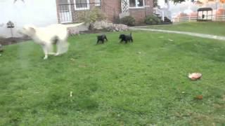 Download Labrador Retriever Puppies For Sale Video