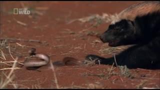 Download porsuk ve yılan Video