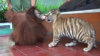 Download lucunya anak harimau dan orang utan Video