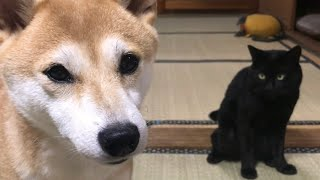 Download 夕飯まで暇を持て余す柴犬と黒猫 Waiting for dinner Video