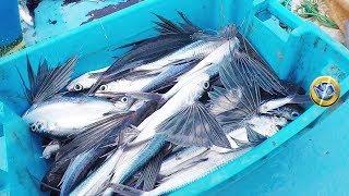 Download Así se Pescan los Peces Voladores - Flying fish Video