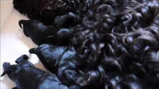 Download Portugiesische Wasserhunde Video
