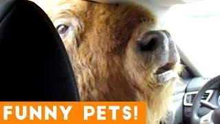 Download Funniest Pets & Animals of the Week Compilation July 2018 | Hilarious Try Not to Laugh Animals Fail Video