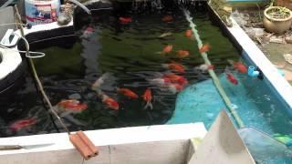 Download บ่อปลาทองฮอลันดายักษ์ครับ Video