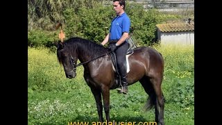 Download Princesa Andalusier Stute mare andalusier Video
