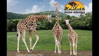 Download Giraffe Cam - Animal Adventure - April the Giraffe Video