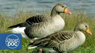 Download Aves Migratorias | Naturaleza - Planet Doc Video