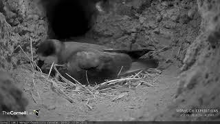 Download Incubation Period Begins As Endangered Bermuda Cahow Lays Single Egg – Jan 12, 2018 Video