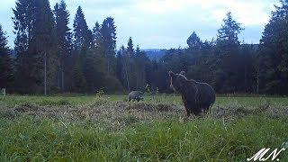 Download Niedźwiedź z dzikiem. Próba sił... Video
