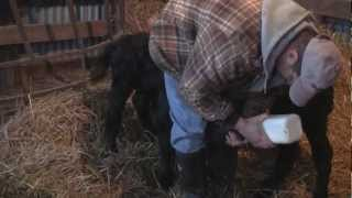Download Bottle Feeding Calves Video