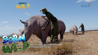Download Born to Be Wild: Doc Nielsen Donato meets Najin and Fatu, the last two northern white rhinos Video