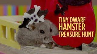 Download Tiny Dwarf Hamster Treasure Hunt - Starring Dumptruck & Porkchop Video