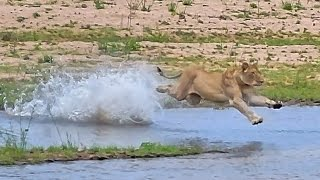 Download Lioness kills 2 Impala & struggles to keep vultures away...she reveals her secret... Video