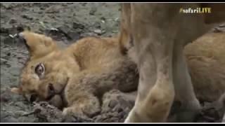 Download SouthAfricaDjAraCpAMSafariLIVE 14 Nov 2016 Injured Nkuhuma cub part 2 Video