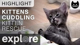 Download Kittens Cuddling (cute!) - Kitten Rescue Live Cam Highlight 11/08/17 Video