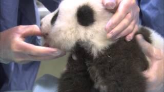 Download Unbearably Cute Panda Cub Exam Compilation Video