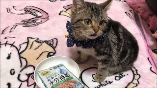Download ごはんだよ!まぐろフレークを幸せそうにムシャムシャ食べる子猫 Video
