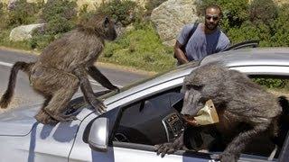 Download Baboon Wars | South Africa Video